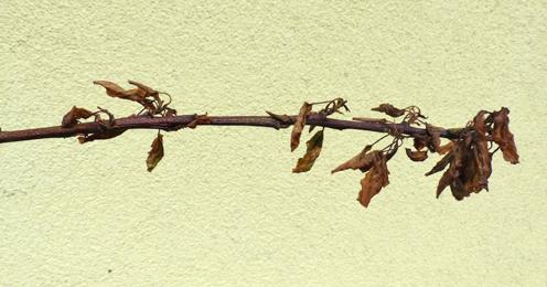 Aprikosentrieb mit Moniliatriebspitzendürre